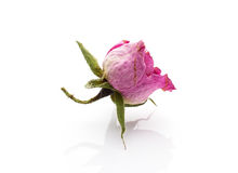 Dried rose. Royalty Free Stock Images
