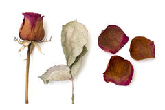 Dry rose and sheet isolated white Stock Photo