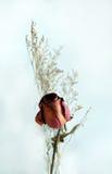 Dry Rose Royalty Free Stock Photos