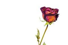 Dry rose. On white background Stock Photos
