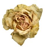 Dry rose on a white background. White with a gentle pink center Stock Photos