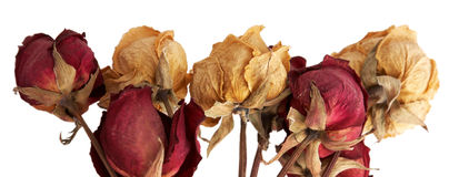 Dry roses Royalty Free Stock Image