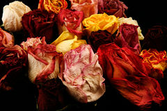 Dry Roses Stock Image