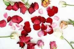 Dry roses flower on white background Stock Photo