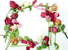 Dry roses frame on white background.  Royalty Free Stock Photography