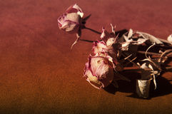 Dry roses Royalty Free Stock Images