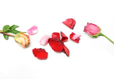 Dry roses isolated on white.  Royalty Free Stock Image