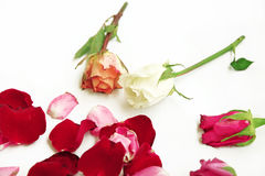 Dry roses isolated on white.  Royalty Free Stock Photography