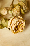 Dry roses on old sheet of paper Stock Image