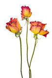Dry roses. Three dry roses on a white background Stock Photos