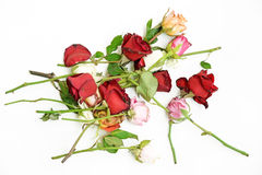 Dry roses on white background Royalty Free Stock Photos