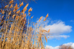 Dry rush and winter sky Royalty Free Stock Image