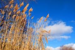 Dry rush and winter sky. Shot near the Dnieper river, Ukraine Royalty Free Stock Image