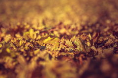 Dry rust-colored fallen autumn leaves Royalty Free Stock Image
