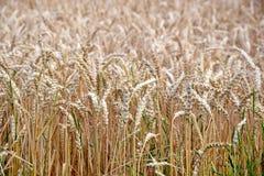 Dry Rye Field Grain Background Stock Photo. Dry Rye Field Grain Background Agriculture Stock Photo royalty free stock photo