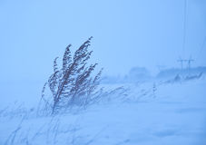 Dry sagebrush grass under the blizzard ice storm in winter Stock Photography