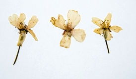 Dry SAKURA flowers Stock Photos