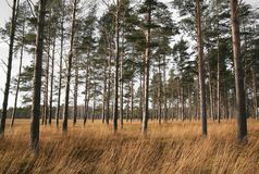 Dry Savannah. Dry empty landscape of the savannah with pine trees and yellow grass royalty free stock photography