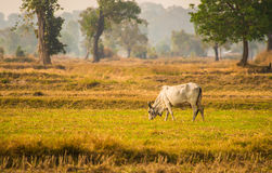 In the dry season, cattle ranches Royalty Free Stock Photo