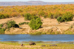 Dry Season Hippos Royalty Free Stock Photos