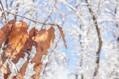 Dry season leaf on branch with snow and bokeh forest and blue sky. Background Royalty Free Stock Images