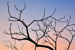 Dry season. Dry tree branches on sunset Royalty Free Stock Photography