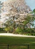 Dry season. Trini beautiful trees around savannah Stock Images