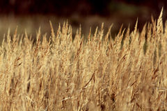 Dry sedge grass background Royalty Free Stock Photography