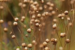 Dry seed capsules of common flax Linum usitatissimum. In a field Stock Images