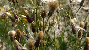 Dry seed of thistle. Pappus dry seed thistle close-up, panorama from bottom to top stock footage