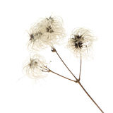 Dry seedhead of Clematis vitalba Royalty Free Stock Photos