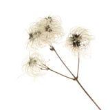 Dry seedhead of Clematis vitalba. (wild clematis, Old man's beard ,Traveller's Joy Royalty Free Stock Photos
