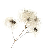 Dry seedhead of Clematis vitalba. (wild clematis, Old man's beard ,Traveller's Joy Royalty Free Stock Photo