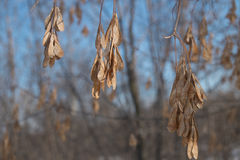 Dry seeds of the ash tree Royalty Free Stock Photo