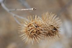 Dry seeds of burdock in winter. Macro photography. royalty free stock image
