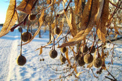 Dry seeds. Linden tree lit evening sun Royalty Free Stock Image