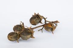 Dry seeds of Queen's crape myrtle Stock Photo