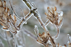 Dry seeds on a tree branch covered with ice Stock Photos