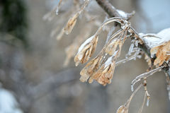 Dry seeds on a tree branch covered with ice Royalty Free Stock Photography