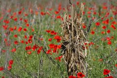 Dry sheaf. In a poppy field Stock Photo