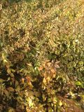 Dry shrub Stock Photography