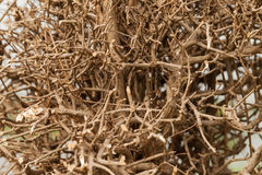 Dry shrubby clump tree Stock Image