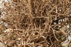 Dry shrubby clump tree Stock Image
