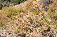 Dry silver thistle. Wild dry silver thistle plant growing in mountains, typical south european macchia vegetation in summer stock photo