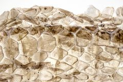 Dry skin of snake on white background, macro photo. Snake skin closeup with backlight. Reptile scale pattern. Molting snake. Natural skin texture. Reptile royalty free stock photography
