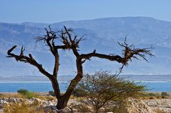 A dry solitary snag near the Dead Sea Royalty Free Stock Photo