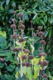 Dry som ser den bruna växten med den bruna knoppen Arkivbild