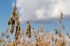 Dry Soybeans in the Field. Soybean closeup, ready for harvest; shallow focus, blue sky background Stock Photo