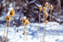 Dry spikey thistle in the snow. An orange, dried out thistle topped with snow Royalty Free Stock Image