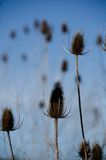 Dry spiky seed heads with blue sky in the background Stock Image